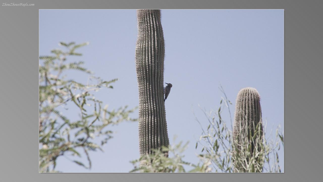 2012_05_14-2 (Saguaro & Desert Museum)-37