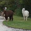 Alpacas at ranger's house