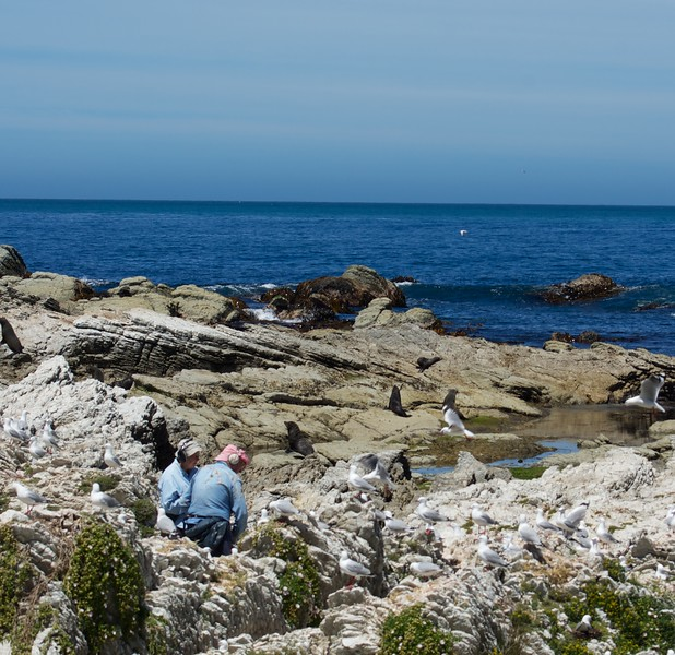 Kaikoura Peninsula Walkway seals and birds
