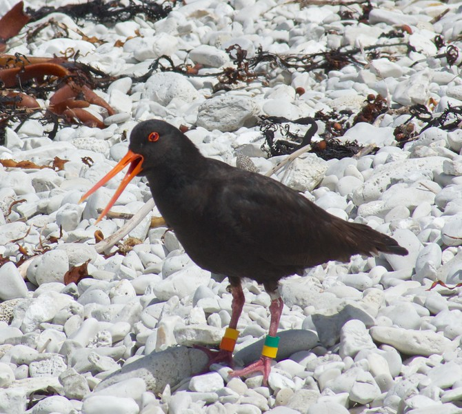 Angry Bird at Kaikoura Peninsula Walkway