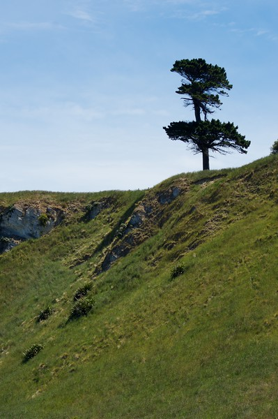 Kaikoura Peninsula Walkway  lone tree