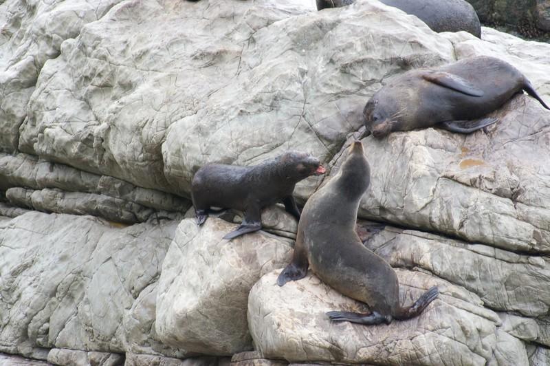 Battling seals