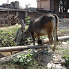 Sacred cow - feeding on garbage