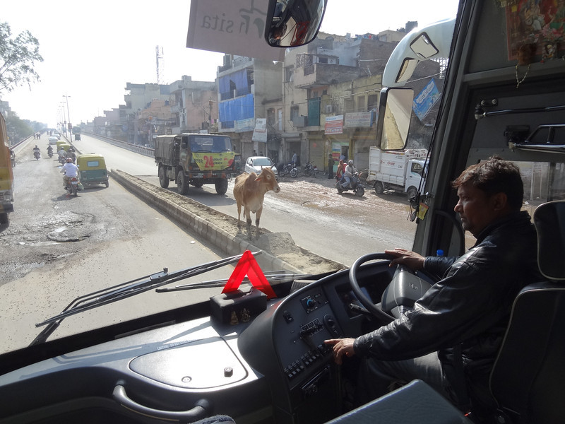 Cattle along the street