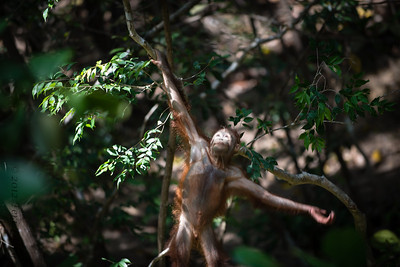 transition to human?-9828...Weirdest photo I have ever taken....promise it was a baby orangutan!!!!~