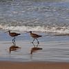 2013-07-16 Morro Strand Long-billed Curlews