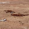 2013-07-16 Morro Strand Snowy Plover 4