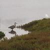2013-07-21 Elkhorn Slough Blue Heron_Great Egret
