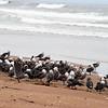 2013-07-16 Morro Strand gulls 1