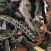 2013-07-19 California Alligator Lizard-Elgaria multicarinata multicarinata closeup