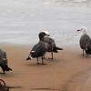 2013-07-16 Morro Strand gulls 2