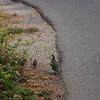 2013-07-19 Islay Creek Campground California Quail flock 2