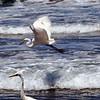 2013-07-16 Morro Strand Great Egrets