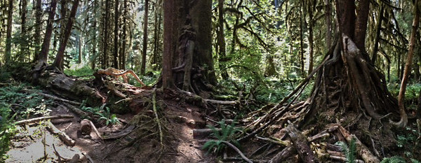 2013-08 Evelyn - Olympic National Forest (37)