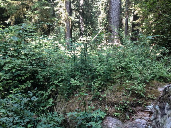 2013-08 Evelyn - Olympic National Forest (32)