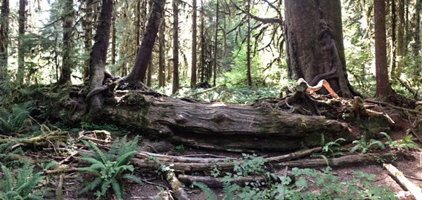 2013-08 Evelyn - Olympic National Forest (35)