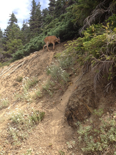 2013-08 Evelyn - Olympic National Forest (4)