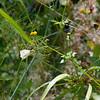 2013-09-29 white butterfly San Luis Obispo Creek