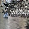 2013-09-29 Pigeon San Luis Obispo Creek