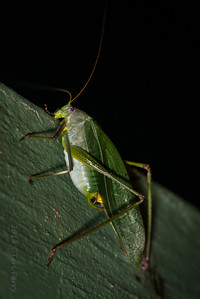 INSECT - grasshopper-2533