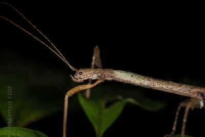 INSECT - stick insect Phasmatodea-2577
