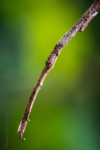 INSECT - stick insect Phasmatodea-2970