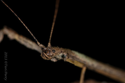 Phasmatodea or Stick/Leaf Insects. . . . . .Phasmids are Phartenogenetics, meaning they don't need the males to breed