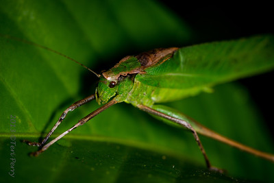 INSECT - ? leaf grasshopper-2528