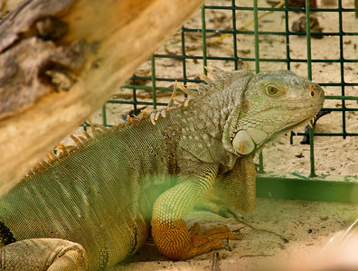 большая пребольшая живет себе тихо мирно - кормят, тепло, сухо!  This iguana also lives on the island.