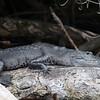 Morelet Crocodile