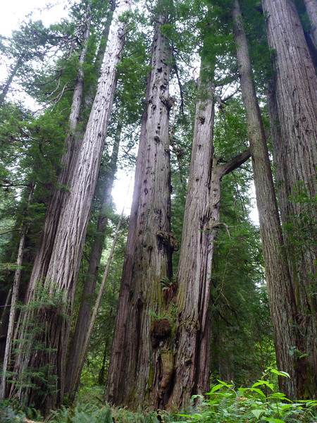 Siamese Twin Redwood in Redwood National Park.