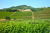 Sonoma vineyards