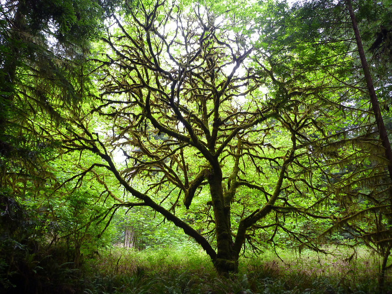 Maple tree covered in moss.