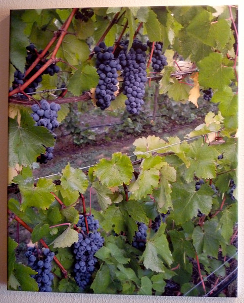 Oregon wine grapes ~ Pinot Noir