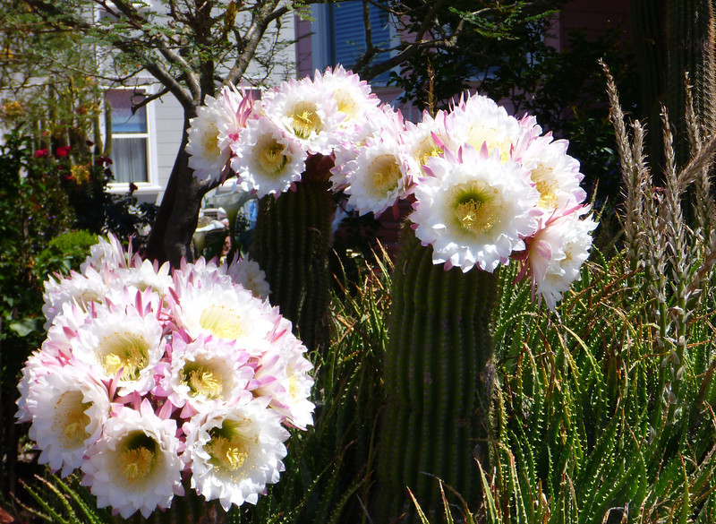 Apparently they only bloom for a day. We were pretty lucky to arrive at the right time!
