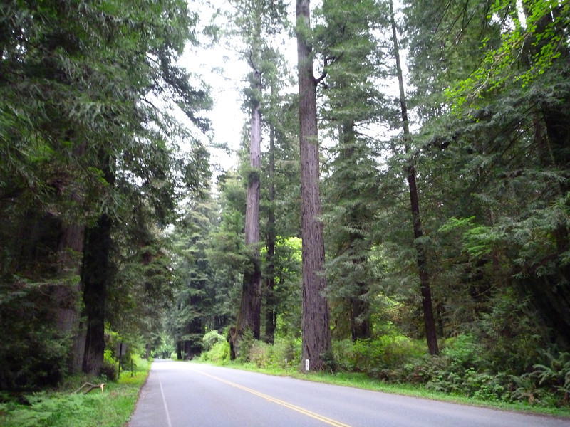 Redwood forest byway