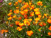 California poppies growing street-side.