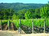 Calistoga vineyards.