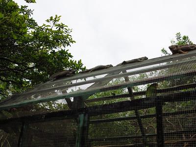 Roatan Iguana Farm