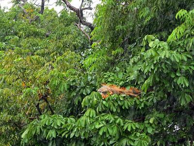 male iguanas turn orange during mating season