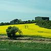 Rapeseed (Canola) field.