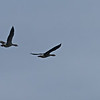 Lots of birding going on in the Orkney's. These are Eider Geese.