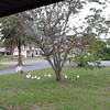 SAMSUNG CAMERA PICTURES - Front yard Ibis