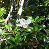 Telephoto Magnolia