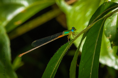 INSECT- dragonfly-0348