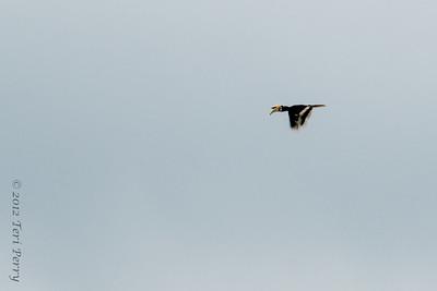 BIRD - pied hornbill-9955