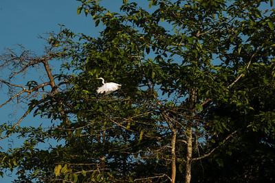 BIRD-  egret-0234