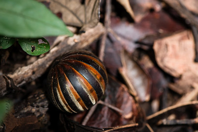 INSECT- millipede -0412