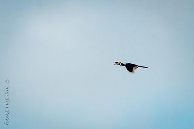 BIRD- hornbill - pied-0092