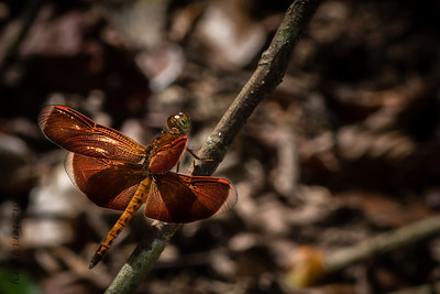 INSECT- dragonfly-0368